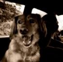 Animali in macchina: italiani non sempre prudenti