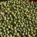 Energia alternativa: in Spagna elaborata una tecnica per ottenere elettricità dalle olive
